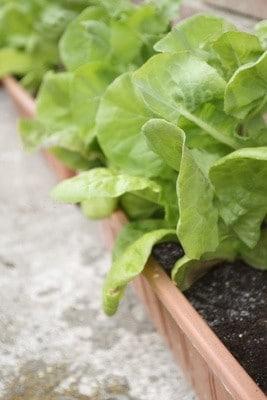 Comment faire pousser une salade bio sur ma fenêtre ?